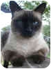 Siamese Cat for adoption in Austin, Texas - Nueces Lynx Girl